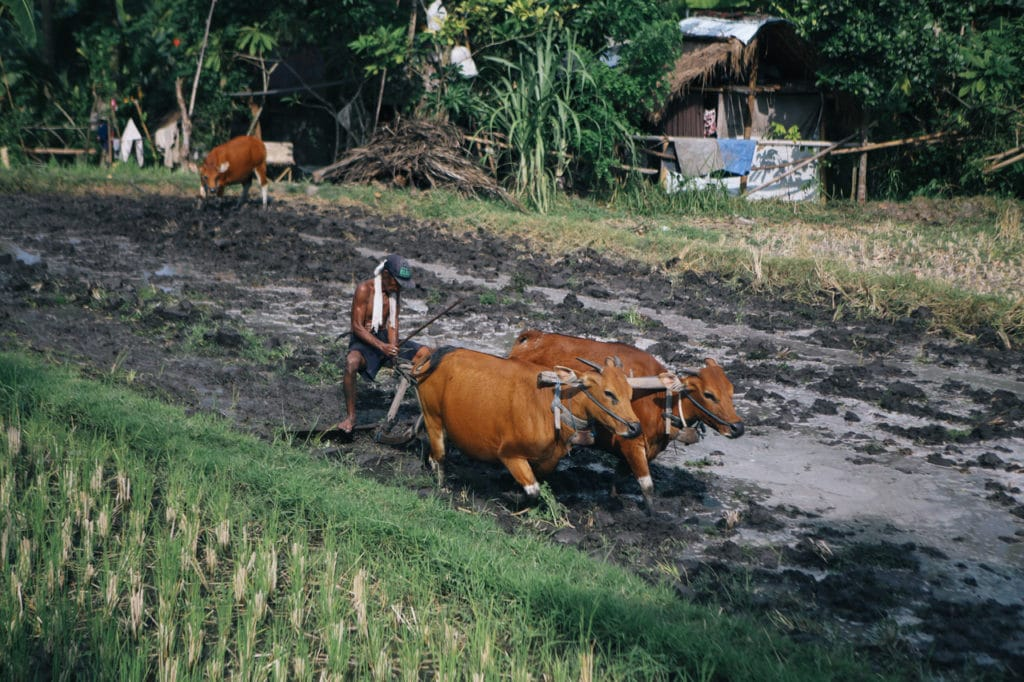 bali farming